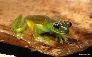 Roque tree frog, Hyloscirtus phyllognathus