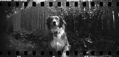 in the garden (toonboy7) Tags: film bw blackwhite blazinal rodinal 150 150dillution kodak tmax aussie dog panorama lomo lomography sprockets sprocketrocket