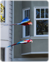 (seua_yai) Tags: northamerica california sanfrancisco thecity street beauty lifestyle city urban seuayai sanfrancisco2018 bird parrot