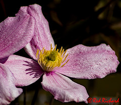 Garden Flower 1 (red.richard) Tags: flower petals stamen macro close up