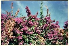 Kodak Vision 3 250D - RA-4 (Spock (Luis)) Tags: olympus35rc ra4 ecn2 kodakvision3 kodakvision3250d homedeveloped flores flowers nature