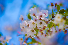 Sakura (Mustafa Kasapoglu) Tags: sakura japan nature beauty flower tree cherry