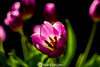 You've got to show me love (wardkeijzer_107) Tags: tulips mitakon 85mm high iso light purple flower