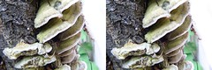 IMG_0770 (cabled86) Tags: mushroom mushrooms freeview crossview stereoview fungi