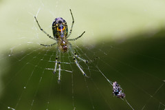 """Orchard Orb Weaver with a """"Catch"""" (brucetopher) Tags: spider spiders arachnid eight legs 8 orb web weave orbweaver bug bugs creepycrawly bugsandspiders ornate beautiful nature natural tiny trap snare catch agile nimble woven green eat eating"""