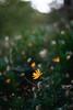ILCE-7M2-01120-20180604-2021 // Konica Hexanon AR 57mm 1:1.2 (Late Version) (Otattemita) Tags: 57mmf12 florafauna hexanon konica konicahexanonar57mmf12lateversion fauna flora flower nature plant wildlife konicahexanonar57mm112lateversion sony sonyilce7m2 ilce7m2 57mm cnaturalbnatural ota