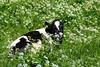 Sommaräng (evisdotter) Tags: sommaräng animal äng meadow ko cow flowers summer nature sooc blommor