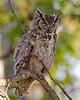 Great Horned Owl (wlb393) Tags: greathornedowl birds birdsofprey livermore bubovirginianus s8s5125
