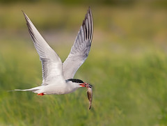 Bringing home dinner (Ania Tuzel Photography) Tags: commontern inflight newyork birding fish birdphotography wildfree
