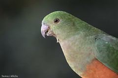 King parrot (Jims Wildlife) Tags: kingparrot bird australia alisterus
