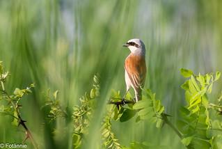 Neuntöter / Red-backed Shrike