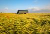 Summer is here (C Sinclair) Tags: barn sixpennyhandley dorset corn wheat poppies farmland agriculture summer rural