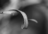 Dried (Helen Orozco) Tags: monochromebokehthursday hmbt pampasgrass cortaderiaselloana texture curve