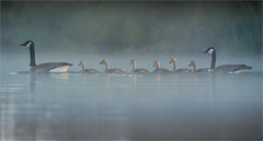 All in a Row (soupie1441) Tags: stmarys ontario canada goose geese swim thames river nikon d7200 nikkor 200500mm nature wildlife misty morning