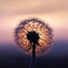 Dandelion clock (jo92photos) Tags: dandelionclock sunset dandelion wildflower seeds seedhead evening 15challengeswinner