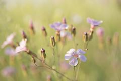 Conter fleurettes ... * (Titole) Tags: flowers shallowdof pink pastel nicolefaton titole