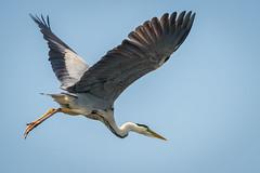 Grey Heron 3 (Harry Sterken) Tags: ardeacinerea ardeidae bird blauwereiger fischreiher graureiher greyheron natur nature natuur pelecaniformes roeipotigen ruderfã¼ãer vogel vã¶gel