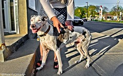 Good Girl - Ottawa 06 18 (Mikey G Ottawa) Tags: mikeygottawa canada ontario ottawa street city dog hound chien hund encounter random shadow stretch
