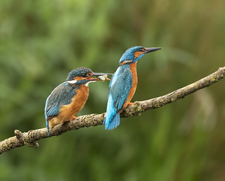 Common kingfishers - Alcedo atthisCommon kingfishers - Alcedo atthisLast week I had the pleasure of watching both the male and female kingfishers hunting then the male giving food to her to take to their young somewhere nearby. Such a joy to watch.