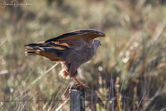 Ready for take-off (Gabriel Paladino Photography) Tags: canon sigma 150600 telezoom lens grass animal accipitriforme sudamérica gavilán santa ana canelones fauna salvaje wildlife wild gaviaocaboclo hawk raptor heterospizias uruguay scientific classification animalia chordata aves aguilucho aguila rapaz prey bird ave pajaro birdave buteogallus meridionalis aguiluchocolorado savannahawk accipitriformes accipitridae gaviláncangrejerocolorado busardosabanero birdofprey eos 9000d 77d