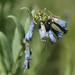 streamside bluebells, Mertensia ciliata var. stomatechoides, developing fruits