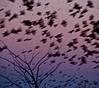 Flutter (momrunninglate) Tags: motion light bakerwetlands birds murmuration