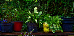 Crecer lento (Blas Torillo) Tags: puebla méxico mexico plantas plants vida life macetas pots verde green tortuga turtle fotografíaenexteriores outdoorsphotography luznatural naturallight colores colors fotografíaprofesional professionalphotography fotógrafosmexicanos mexicanphotographers nikon d5200 nikond5200