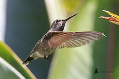 Colibrí de Allen (Selasphorus sasin) (jsnchezyage) Tags: colibrí colibrídeallen allenshummingbird hummingbird bird birding birdwatching ornithology beak feather ave pájaro picaflor zumbador tucusito pájaromosca quinde ermitaño selasphorussasin
