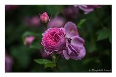 Rote Rose (günter mengedoth) Tags: tamronspaf70200mmf28dildifmacro tamron sp af 70200 mm f 28 di ld if macro pentax pentaxk1 k1 rose duftrose pentaxart pentaxflickraward