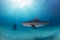 0M9A8495 (PaoloLora) Tags: bahamas bimini dolphin dream dolphindream tiger shark bull hammerhead reef lemon blu blue white black teeth paolo lora paololora canon hugyfot tokina dive diving scuba underwater fins fin ambient light