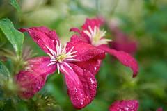 Clematis 'Abundance' (The Good Brat) Tags: colorado us clematis abundance vine flower bloom pink red bright wet rainstorm spring closeup