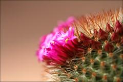 Mammillari (Maulamb) Tags: piantagrassa mammillaria