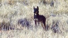Day 4, Rare black dingo (Brian)