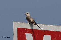 Scissor-tailed Flycatcher 13 June 18 5 (VMI Biology Department) Tags: bird scissortailed flycatcher