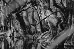 FOREST. (NIKONIANO) Tags: blancoynegro forest naturesfinest nature naturaleza blackandwhite camécuaro michoacán mexico mexicanlandscape sergioalfaroromero árboles árbol arbre tree surreal paisajesurreal
