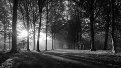 Trees in the light 16-9 in B&W (Drummerdelight) Tags: blackwhite woods trees intothesun sunbeams beamsoflight