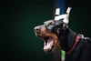 Yaaaaaaawn (zola.kovacsh) Tags: outdoor animal pet dog club show dobermann doberman pinscher pup puppy