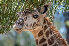 Peek-A-Boo Calf (helenehoffman) Tags: jimbashore harriet kenya conservationstatusvulnerable masaigiraffe giraffacamelopardalistippelskirchi sandiegozoo giraffe kilimanjarogiraffe calf tanzania animal coth specanimal coth5