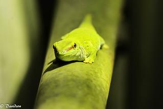 Great Madagascar Day Gecko