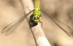 """Bright Green Dragonfly 8 (Tynan Phillips) Tags: nature nikon nikond90 d90 dslr canada bc """"britishcolumbia"""" denmanisland dragonfly dragonflies insect insects bug bugs animals wildlife macro green """"erythemiscollocata"""" """"westernpondhawk"""""""