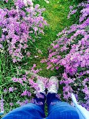 Lavender Fields, walk with me. (smaeb1101) Tags: iphone flowers traveller photography iphoneshot summer lavenderfields lavender english england bezalente