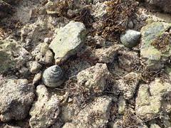 Giant top shell snail (Tectus niloticus) (wildsingapore) Tags: pulau jong trochus niloticus trochidae gastropoda mollusca island singapore marine intertidal shore seashore marinelife nature wildlife underwater wildsingapore