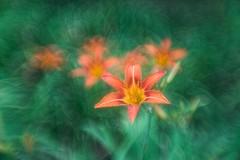 _DSC8124 (kymarto) Tags: bokeh bokehlicious bokehphotography dof depthoffield flowers flowerphotography nature naturephotography beauty beautiful sony sonyphotography sonya7r2 oldlens vintagelens dallmeyer octac