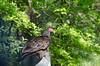 Turkey Vulture (3) (Neil DeMaster) Tags: outdoorphotography protectwildlife protectourenvironment protectnature wildlife wildlifephotography banpesticides conservation conservenature conservewildlife keeppubliclandpublic keepourairclean nature naturephotography njnature njwildlife outdoor bird njbird vulture turkeyvulture
