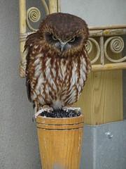 DSC07633 (guyfogwill) Tags: 2018 birds boobookowl brandonsbirthday devon gbr guyfogwill may owls paignton unitedkingdom paigntontorquay