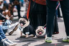 PugCrwal-52 (sweetrevenge12) Tags: pug parade crawl brewing sony pugs dog pet
