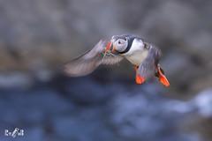 Tammie norrie (puffin, Shetland) (Renate van den Boom) Tags: 05mei 2018 europa grootbrittannië jaar maand mainland papegaaiduiker renatevandenboom shetland vogels