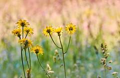 Flowers meadow (flowerikka) Tags: blossom blumen blüte flora flower garden germany green knospen meadow plants sun wiese yellow
