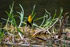 Name that tune (ChicagoBob46) Tags: yellowheadedblackbird blackbird bird yellowstone yellowstonenationalpark nature wildlife ngc coth5 npc