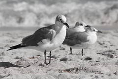 Sea gulls at Miami beach (Zahidur Rahman ( Will be back soon )) Tags: bird sand water beach grass rock seagull almostwhite bright miami usa depthoffield nikond500 nikon28300mm 3 feather seabirds commonbirds sea ocean bokeh